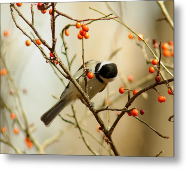 Chickadee 1 Of 2 Metal Print