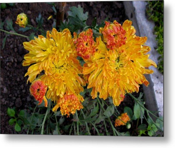 Chrysanthemum 6 Metal Print