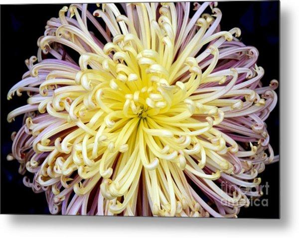 Colorful Spider Chrysanthemum   Metal Print