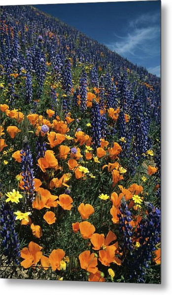 Colossal California Wildflowers Metal Print