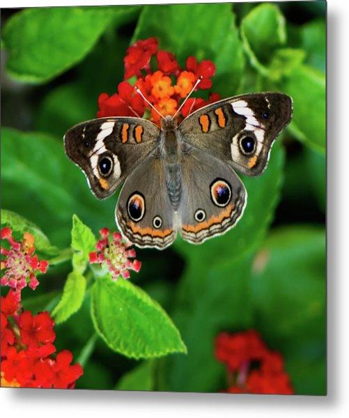 Common Buckeye Butterfly Metal Print