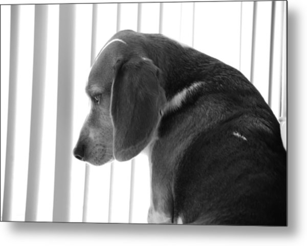 Contemplative Beagle Metal Print