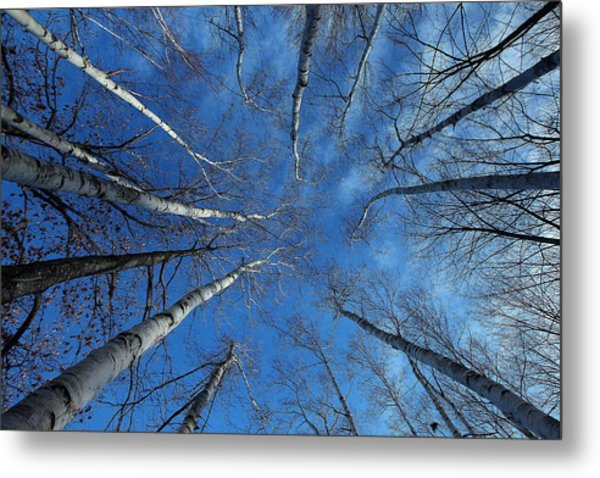 Converging White Birches Metal Print