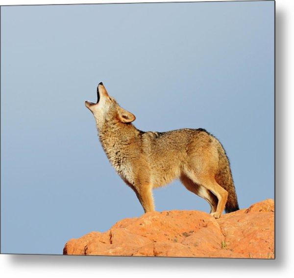 Coyote Howling Metal Print by Dennis Hammer
