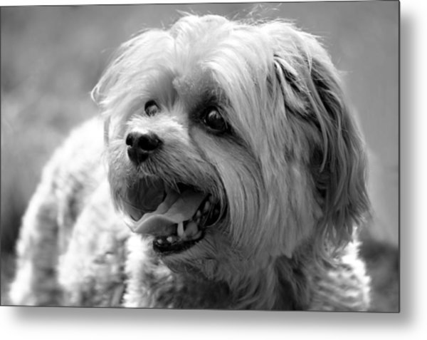 Cute Yorkie - Yorkshire Terrier Dog Metal Print