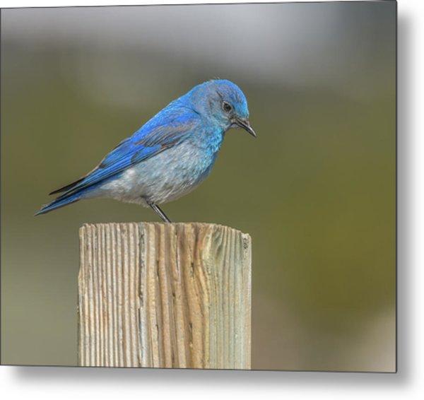 Daddy Bluebird Guarding Nest Metal Print
