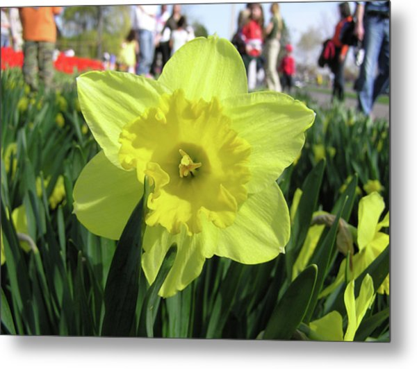 Daffodil Close Up Metal Print by Richard Mitchell