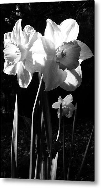 Daffodils In Sunlight Metal Print