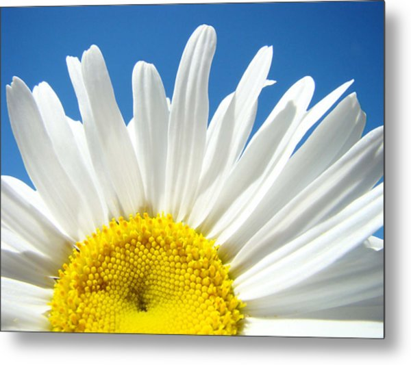 Daisy Art Prints White Daisies Flowers Blue Sky Metal Print