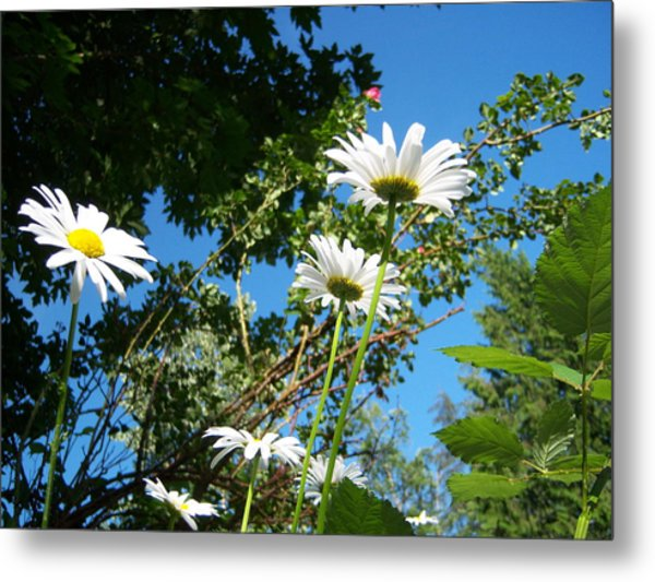 Daisy Rose Metal Print by Ken Day