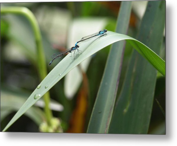 Damselflies Metal Print by Katherine Huck Fernie Howard