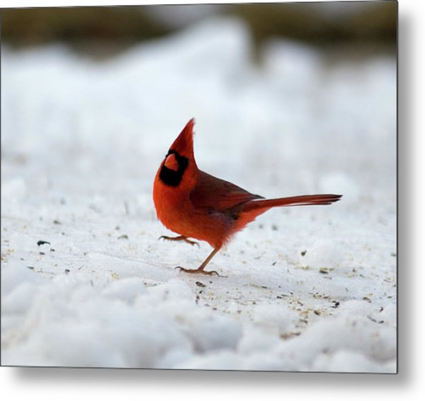 Danceswithcardinals Metal Print