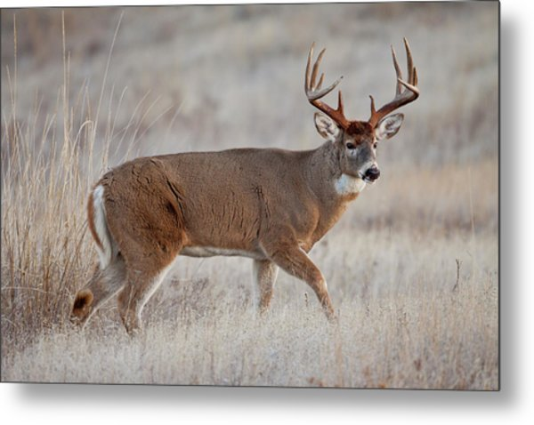 Dawn Buck Metal Print
