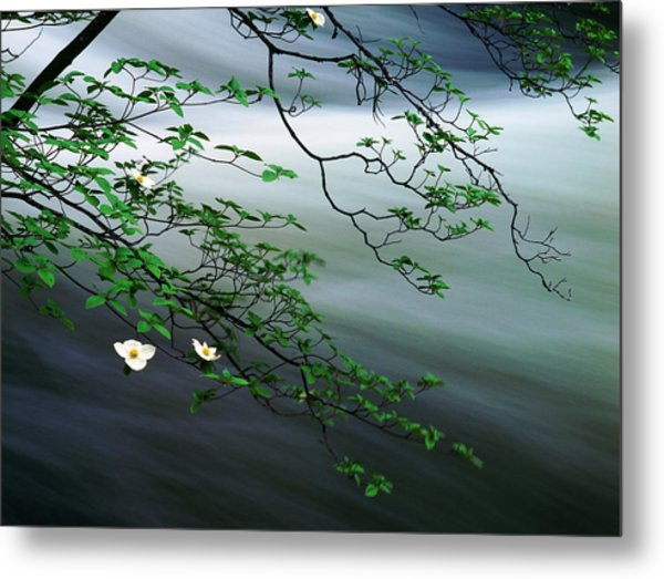 Dogwoods And Merced River Metal Print by Edward Mendes
