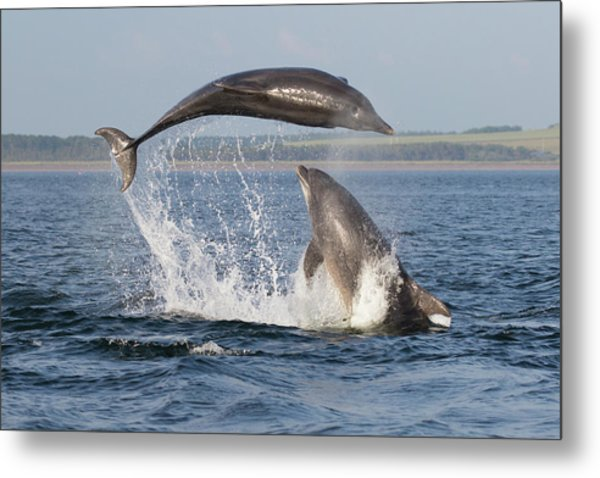Dolphins Having Fun Metal Print