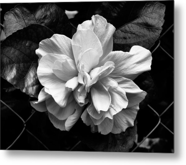 Double Hibiscus Flower Black White Print Photograph By Kathy Daxon