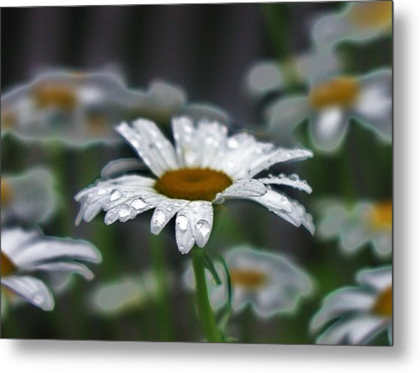 Droplets On Daisies Metal Print by Emily Michaud