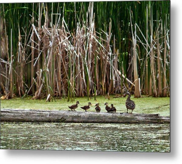 Ducks All In A Row Metal Print