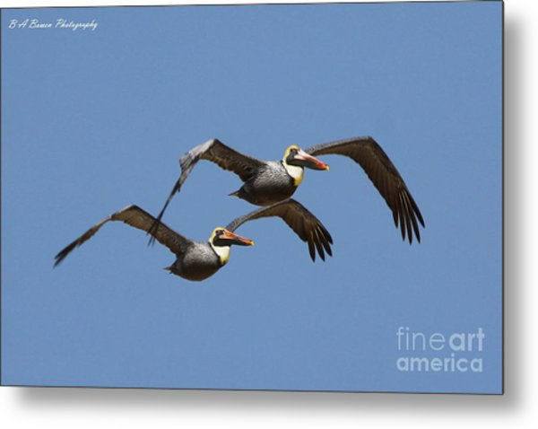 Duel Pelicans In Flight Metal Print