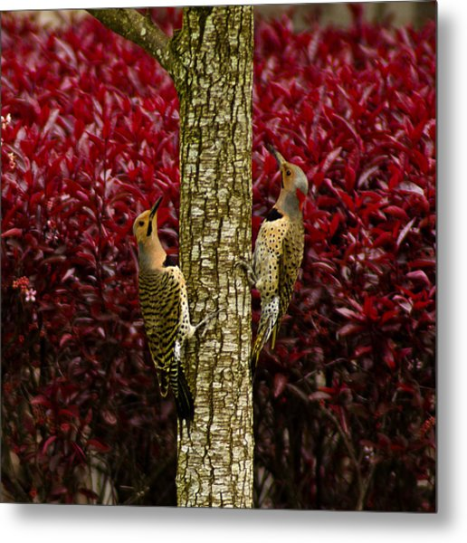 Dueling Woodpeckers Metal Print