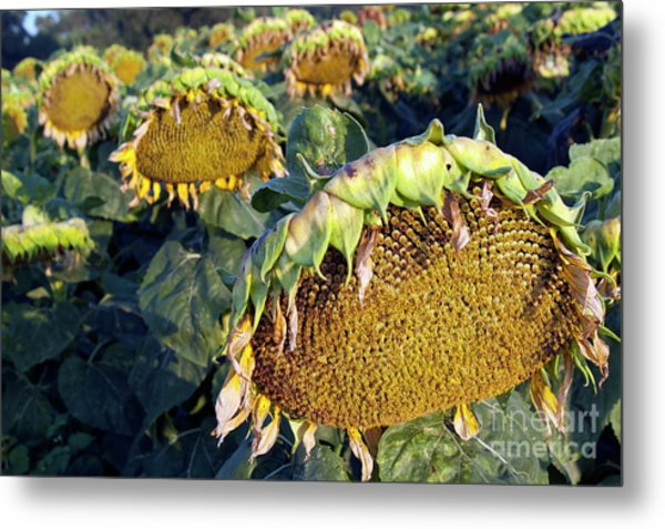Dying Sunflowers In Field Metal Print by Sami Sarkis