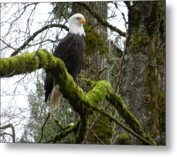 Eagle On A Mossy Limb Metal Print