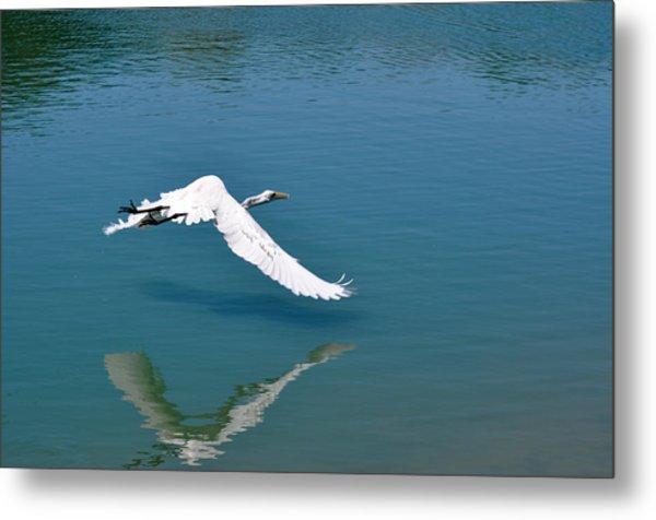 Egret Flying Metal Print by Teresa Blanton