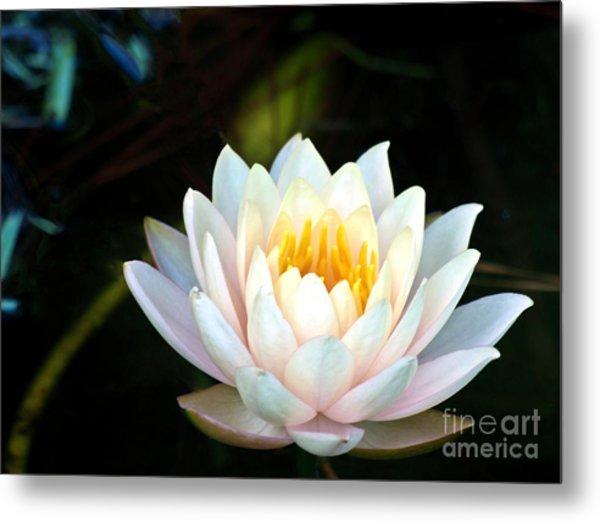 Elegant White Water Lily Metal Print