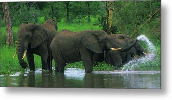 Elephant Shower Metal Print