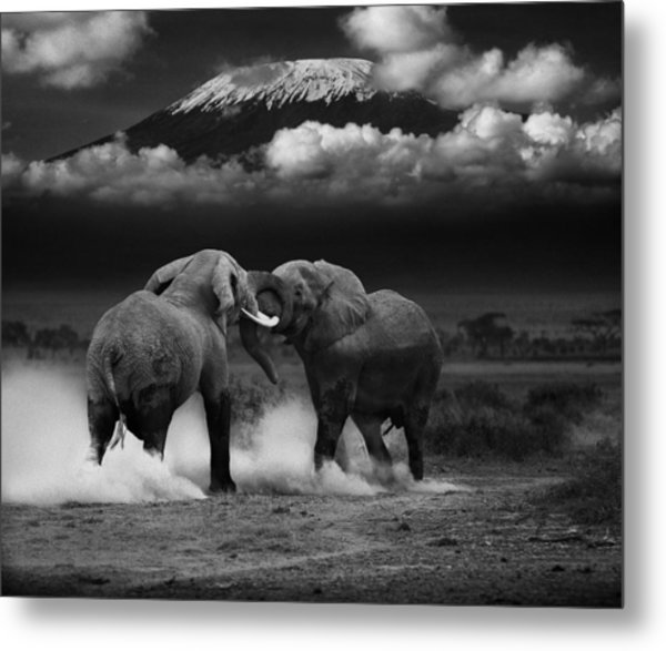 Elephant Tussle Metal Print