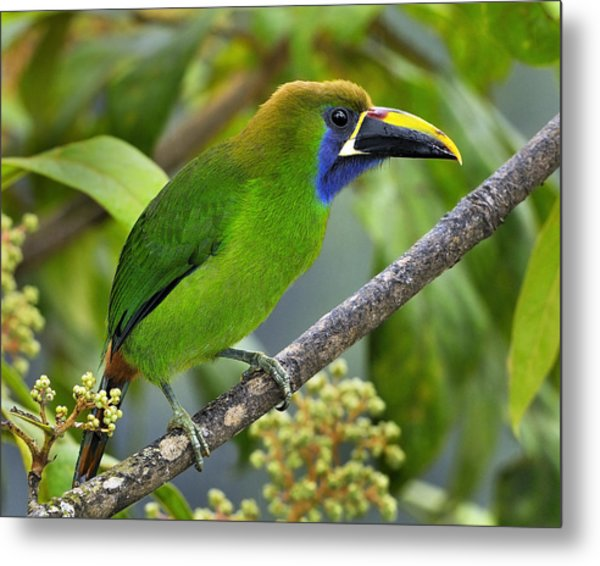 Emerald Toucanet Metal Print