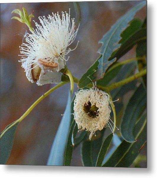 Eucalyptus Bloom Metal Print by Jean Booth