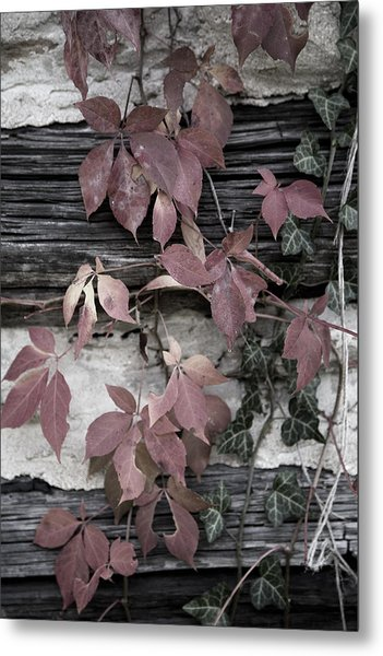 Fall Ivy Metal Print