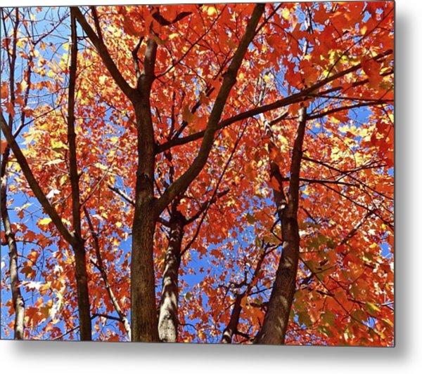 Fall Maple Metal Print
