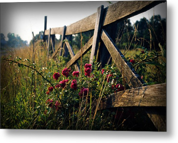 Fence And Roses Metal Print by Dave Chafin