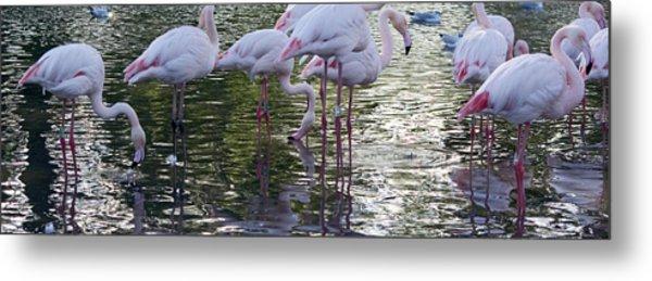 Flamingo Reflections Metal Print