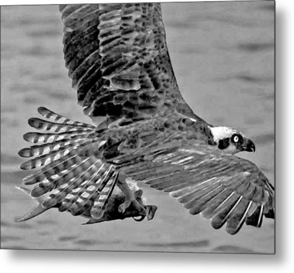 Flight Of The Osprey Bw Metal Print
