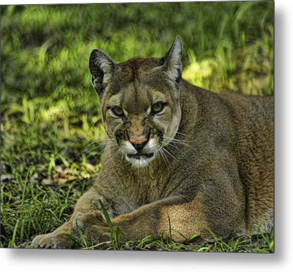 Florida Panther Agitated Metal Print by Keith Lovejoy