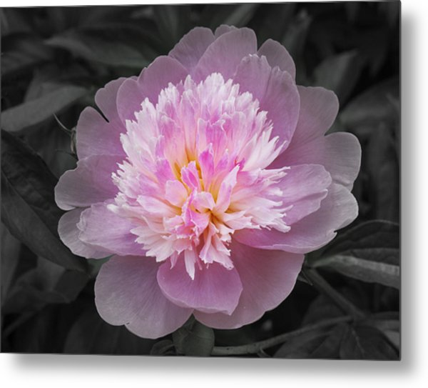 Flowering Spring Peony In Pink And Grey Metal Print by Garth Glazier