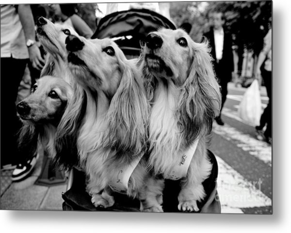 Four Dogs In A Stroller Metal Print