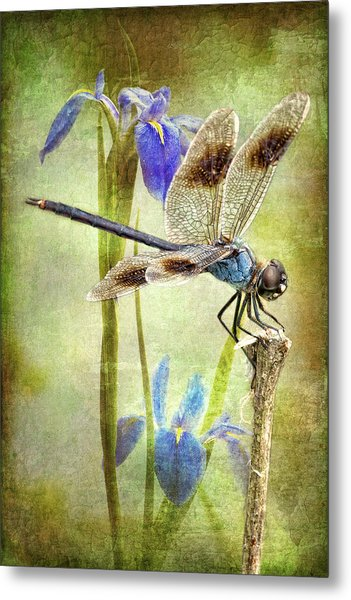 Four Spotted Pennant And Louisiana Irises Metal Print