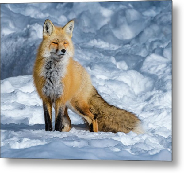 Fox On A Winter Afternoon Metal Print