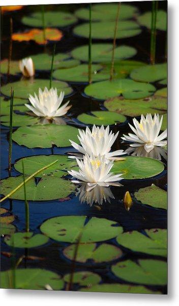Fragrant Water Lily Metal Print by Christine Savino