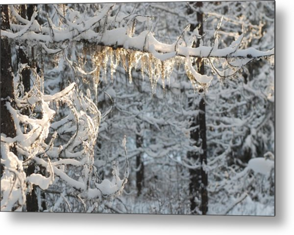 Frosted Pine Branches Metal Print