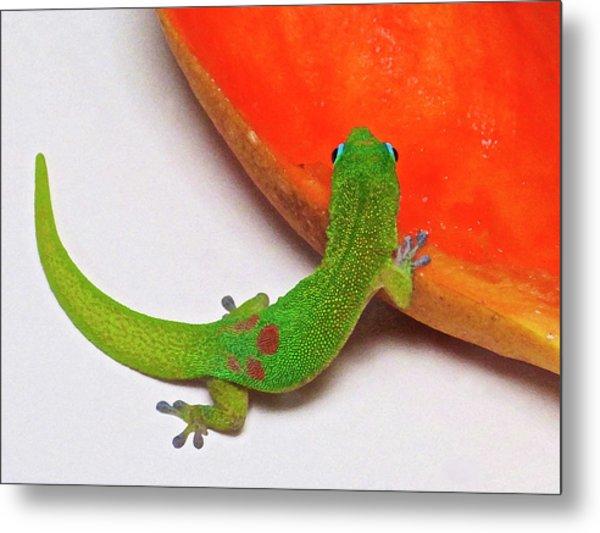 Gecko Eating Papaya Metal Print