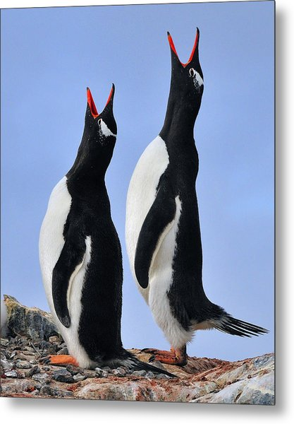 Gentoo Love Song Metal Print