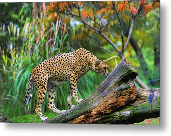 Getting The Scent Metal Print by Keith Lovejoy