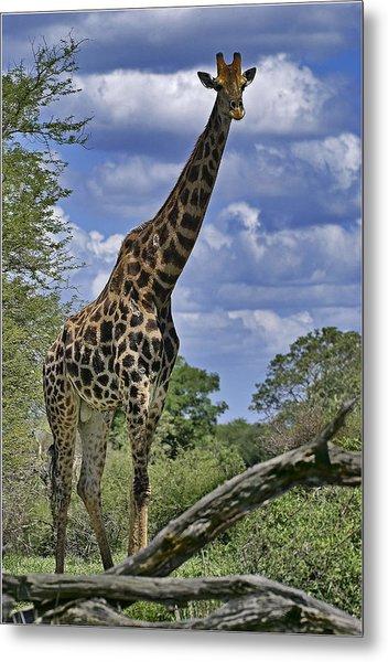 Giraffe Metal Print by Mario De Matos