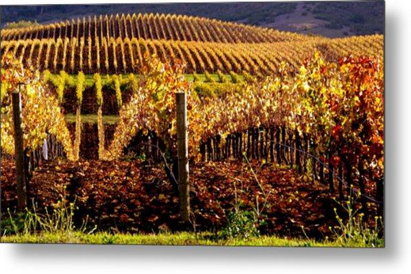 Golden Autumn Vineyard Metal Print