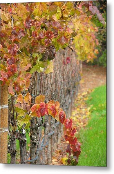 Grape Vines In Fall Metal Print by Jeff White